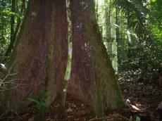 Trilha próxima a BR-319 (Manaus/AM - Porto Velho/RO) em uma área de terra-firme na Amazônia. Foto: Cecília Carvalho – Junho 2012